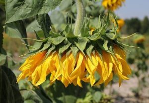 Sunflower wilting in dry hot weather